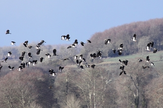 Lapwings fly over a Jordans farm in Dorset, The Wildlife Trusts