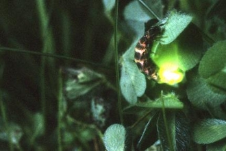 Glow-worm glowing in amongst foliage at night