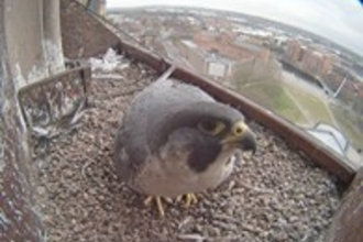 Peregrine webcam