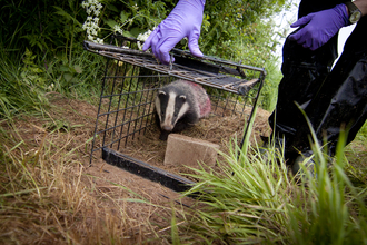 Badger being vaccinated