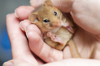 Dormouse in hands, The Wildlife Trusts