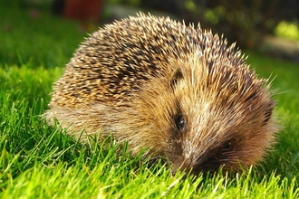 Hedgehog in grass, the Wildlife Trust