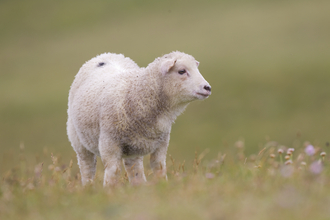 A sheep standing in a field in Shetland, The Wildlife Trusts