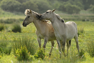 Two Konik ponies, The Wildlife Trusts