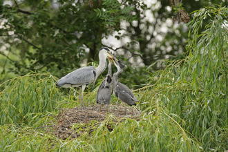 Nesting grey heron feeding chicks, The Wildlife Trusts