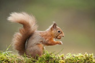 red squirrel wildlife trust