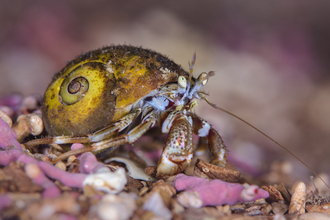 Common hermit crab on maerl