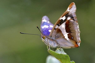Purple emperor - Keith Warmington