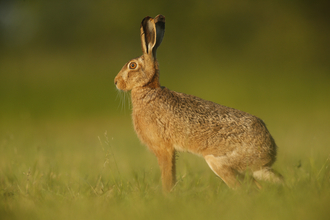brown hare in green field