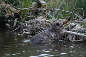 A beaver adding to her dam in Cornwall (C) David Parkyn