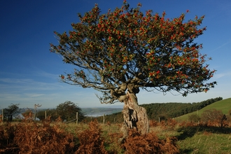 Ancient holly tree - The Hollies nature reserve