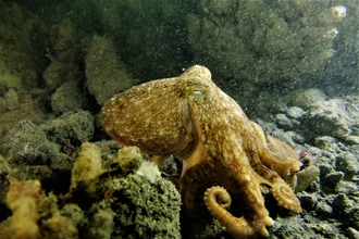 Curled octopus