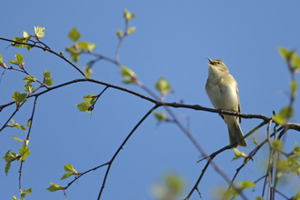 willow warbler singing