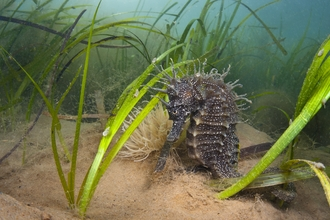 A female spiny seahorse (Hippocampus guttulatus) shelters in a meadow of common eelgrass (Zostera marina).