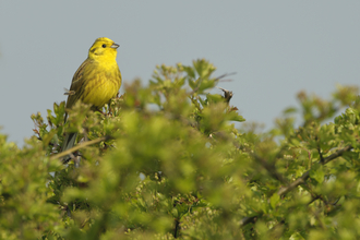 Yellowhammer in a hawthorn hedgerow