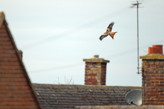 Red kite flying over houses