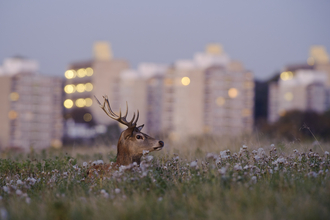 Urban red deer