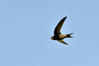 A swift in flight