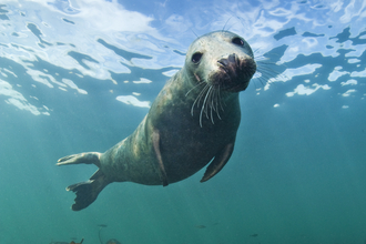 Grey seal underwater