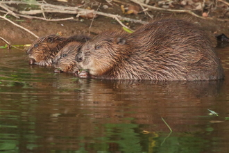 Beaver and kits on River Otter