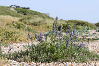 Vegetated shingle at Sizewell beach