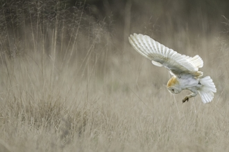 Barn Owl (Tyto alba) swooping onto mouse UK