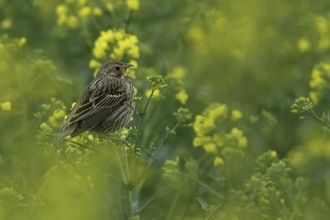 Corn bunting (Milaria calandra) singing in oilseed rape crop at an arable farm in Hertfordshire. April 2011. - Chris Gomersall/2020VISION