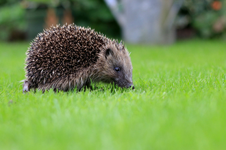 Hedgehog on lawn
