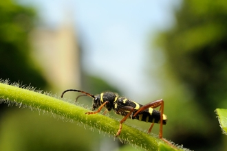 Wasp beetle (Clytus arietis), walking on stem of Japanese honeysuckle (Lonicera japonica)