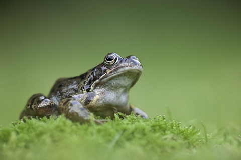 Common Frog The Wildlife Trusts