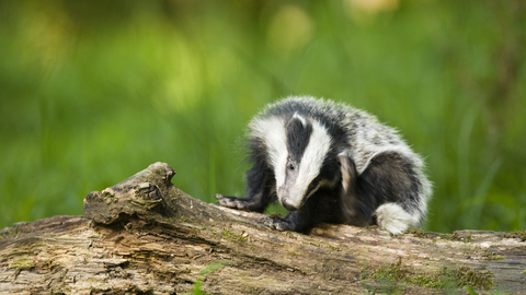 Badger scratching