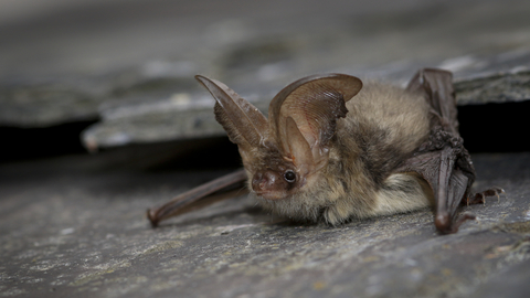 Brown Long Eared Bat The Wildlife Trusts