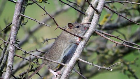 Brown rat | The Wildlife Trusts