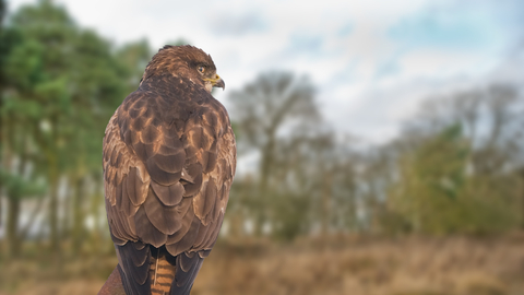 buzzard the wildlife trusts