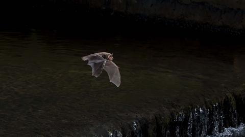 Daubenton S Bat