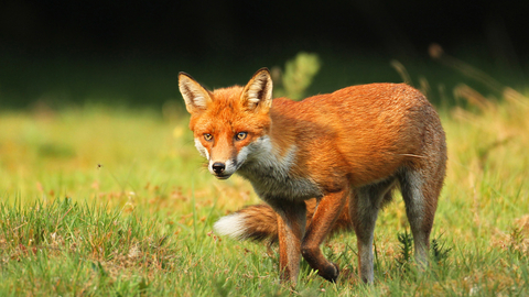 Red Fox naked 552