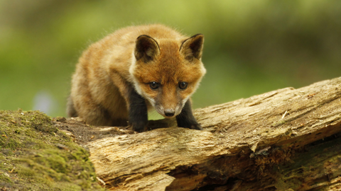 Red fox | The Wildlife Trusts