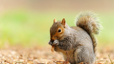 Grey Squirrel The Wildlife Trusts
