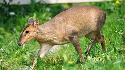 Muntjac Deer The Wildlife Trusts