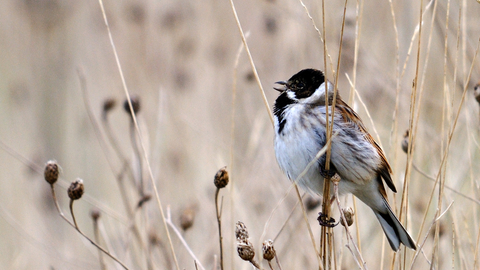 Reed Bunting The Wildlife Trusts