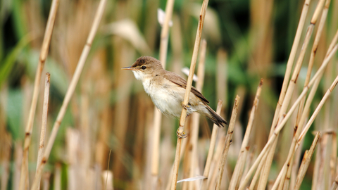 Reed Warbler The Wildlife Trusts