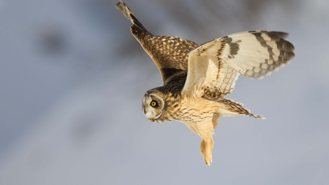 Image result for short-eared owl