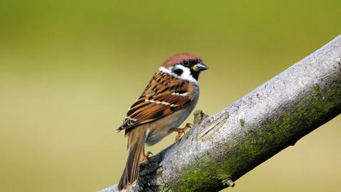 Tree sparrow | The Wildlife Trusts