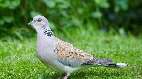 turtle dove the wildlife trusts