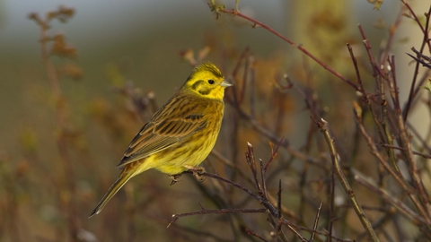 Yellowhammer The Wildlife Trusts