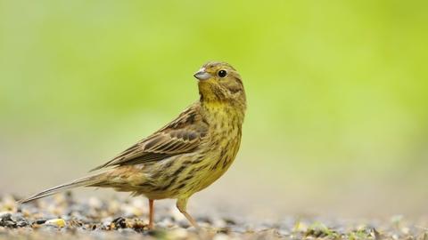 yellowhammer the wildlife trusts