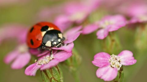 7 Spot Ladybird The Wildlife Trusts