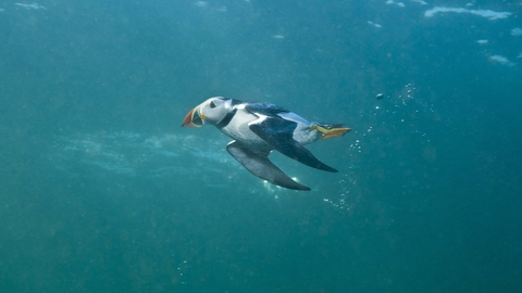 Puffin diving underwater