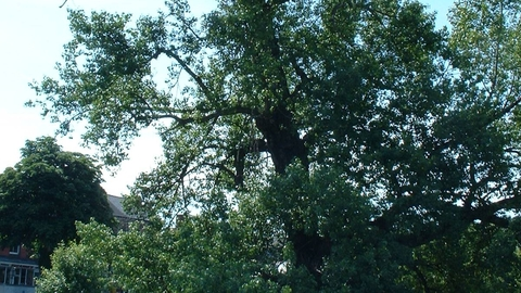 Black poplar | The Wildlife Trusts