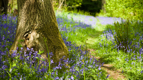Bluebell The Wildlife Trusts